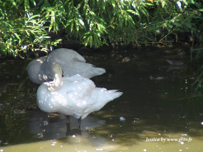 un couple de cygne niché à l'ombre d'un arbre